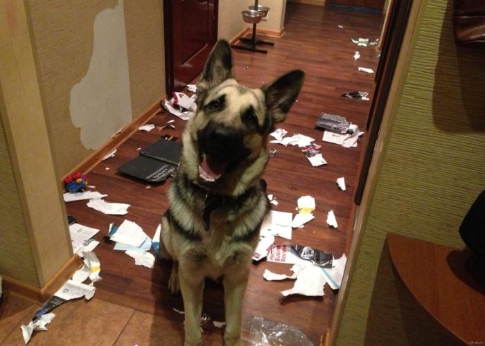 Как отучить собаку грызть и рвать обои1