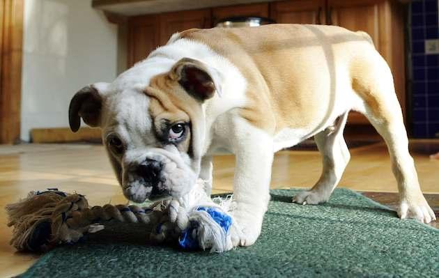 Как отучить собаку грызть и рвать обои2
