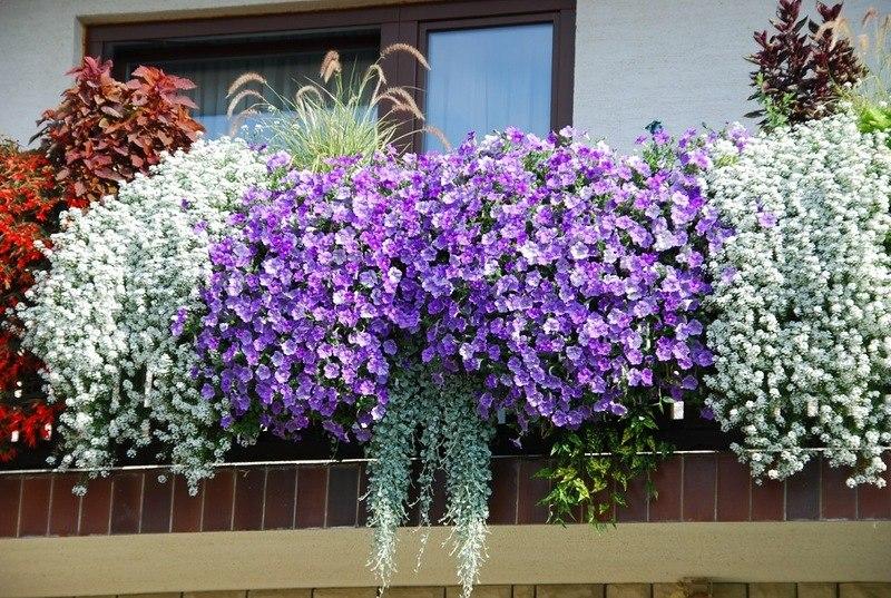 Какие растения и когда можно высаживать на балконе?5