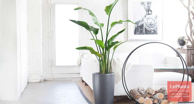 Крупные растения в интерьере3