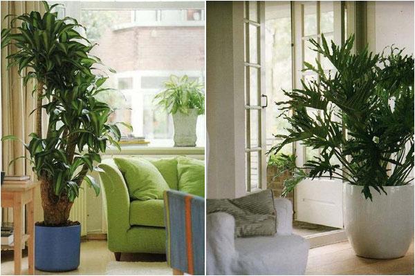 Крупные растения в интерьере4