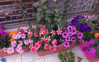 Какие растения и когда можно высаживать на балконе?